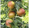 Apfelbaum FloraSelf Malus domestica 'Cox Orange Renette' H 150-180 cm Co 6 L