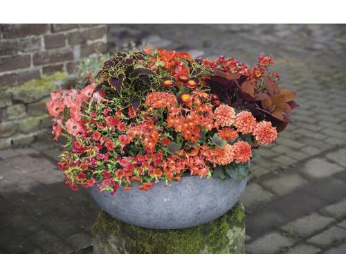 Elfenspiegel FloraSelf Nemesia x Hybride 'Compact Little Cherry' Ø 12 cm Topf