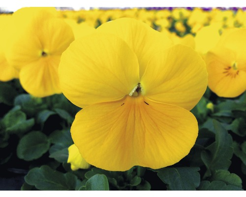 Hornveilchen FloraSelf Viola cornuta Ø 10 cm Topf 10 Stk