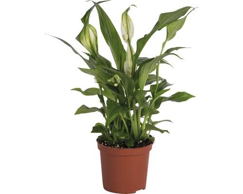 Einblatt FloraSelf Spathiphyllum wallisii H 20-25 cm Ø 7 cm Topf