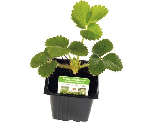 Hänge-Erdbeere FloraSelf Fragaria x ananassa Ø 7 cm Topf