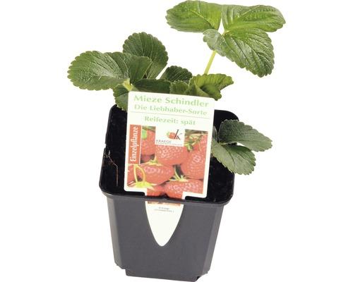 späte Erdbeere FloraSelf Fragaria x ananassa 'Mieze Schindler' Ø 9 cm Topf