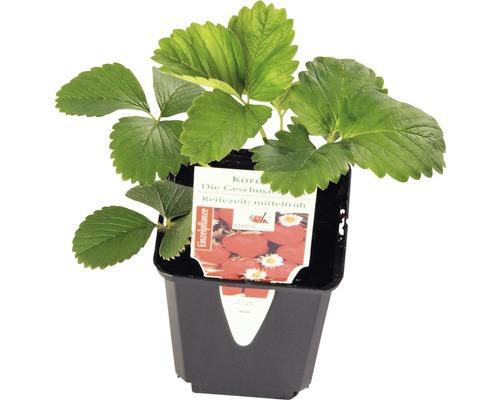 Mittelfrühe Erdbeere FloraSelf Fragaria x ananassa 'Korona' Ø 9 cm Topf