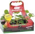 Späte Erdbeere Fragaria x ananassa 'Malwina' 6 Stk