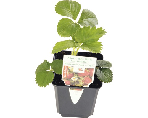 Erdbeere FloraSelf Fragaria x ananassa 'Mara de Bois' Ø 9 cm Topf