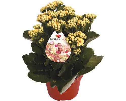Flammendes Käthchen FloraSelf Kalanchoe blosfeldiana 'Gardenlina Gelb' Ø 12 cm Topf