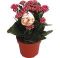 Flammendes Käthchen FloraSelf Kalanchoe blosfeldiana 'Gardenlina Violett' Ø 12 cm Topf
