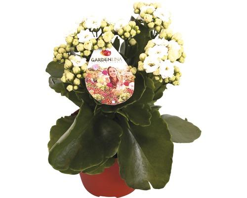 Flammendes Käthchen FloraSelf Kalanchoe blosfeldiana 'Gardenlina Weiss' Ø 12 cm Topf