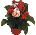 Flammendes Käthchen FloraSelf Kalanchoe blosfeldiana 'Gardenlina Rot' Ø 12 cm Topf