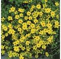 Goldener Zweizahn FloraSelf Bidens aurea Ø 10,5 cm Topf